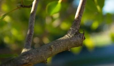 تقليم الأشجار الصغيرة أو تقليم التربية