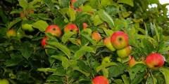 كتاب .. زراعة التفاح