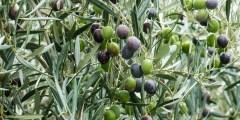 الوصف النباتى لشجرة الزيتون