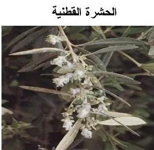 حشرة الزيتون القطنية: