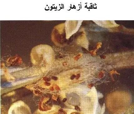 ثاقبة أزهار الزيتون (عثة الزيتون) :
