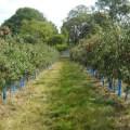 أشجار الفاكهة