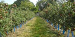المسافة التي تزرع عليها أشجار الفاكهة في البستان