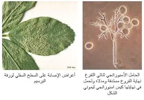 شكل رقم (1) أعراض الإصابة بمرض البياض الزغبي في البرسيم
