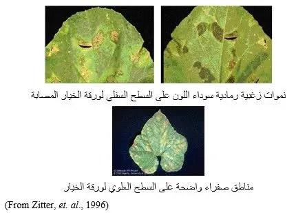 شكل رقم (2) الأعراض على ورقة نبات الخيار