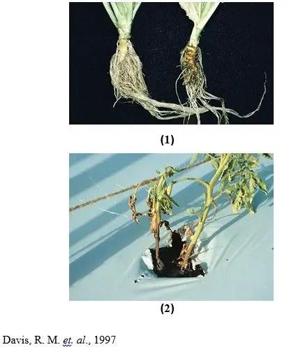 شكل رقم (3): 1.الأعراض على نبات الخس (بقع بنية اللون على الساق عند مستوى التربة). 2.الأعراض على نبات الطماطم.