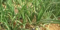 زراعة البصل