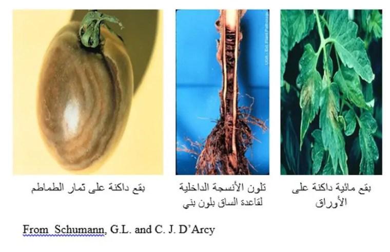 شكل رقم (4) أعراض الإصابة بالفطر فيتوفثورا على الطماطم