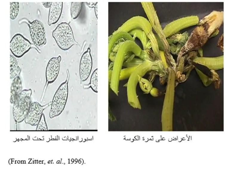 شكل رقم (1) الأعراض على ثمرة الكوسة واسبورانجيات الفطر تحت المجهر.