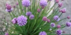 دروس .. النباتات الطبية و العطرية