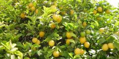 زراعة شجرة الليمون