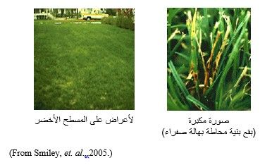 شكل رقم (1): الأعراض على المسطح الأخضر