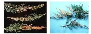 شكل رقم (1): الأعراض على أفرع أشجار العرر