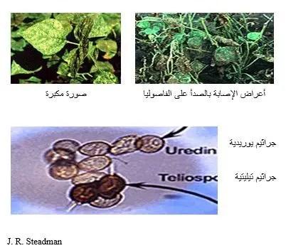شكل رقم (1): الأعراض على نبات الفاصوليا وجراثيم الفطر