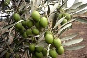زراعة الزيتون ( ظاهرة الثمار الصغيرة )