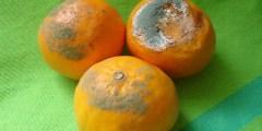 الأمراض المتسببة عن الفطر بنسيليوم Pencillium spp