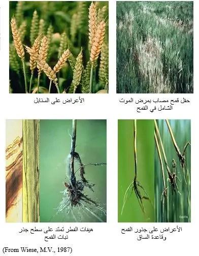 شكل رقم (2): أعراض الإصابة على نباتات القمح