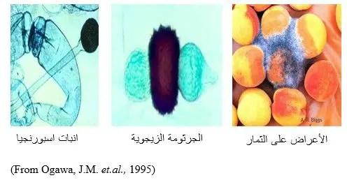 شكل رقم (3) أعراض الإصابة بالفطر ريزوبس على ثمار الخوخ