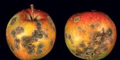 مرض جرب التفاح Apple Scab