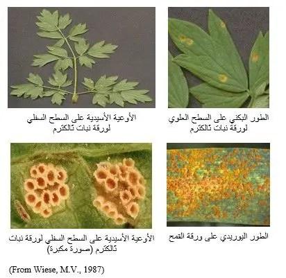 شكل رقم ( 1 ) البثرات اليوريدية على ورقة نبات القمح والطور البكني والأوعية الإسيدية على نبات العائل المتبادل (ثالكترم) Thalictrum spp