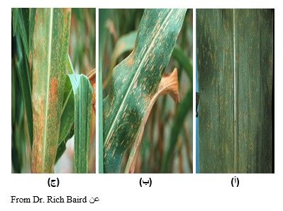 شكل رقم (1) أعراض الإصابة بالصدأ على أوراق الذرة: أ) بثرات الصدأ على السطح السفلي للورقة.        ب) بثرات الصدأ على السطح العلوي للورقة. ج) إصابة شديدة على أوراق الذرة