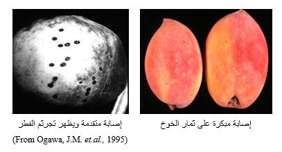 شكل رقم (1): الأعراض على ثمار الخوخ