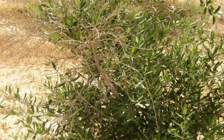 شكل رقم (1): الأعراض على اشجار الزيتون