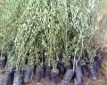 زراعة الزيتون ( إنتاج شتلات الأصل ) طرق إكثار الزيتون