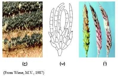 شكل رقم (1):  أ) الطور اللآجنسي على ستابل القمح  ب)الجراثيم الكونيدية للفطر منحنية تنشأ من فاليدات (Phialides)  ج) الطور الجنسي (أجسام ثمرية سوداء) Perithecial Ascomata
