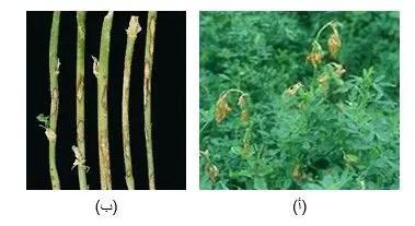 شكل رقم (2): أعراض الإصابة بمرض الأنثراكنوز  أ) أعراض الإصابة بمرض الأنثراكنوز في الحقل       ب) الأعراض على ساق البرسيم