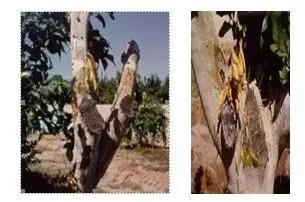 شكل رقم (2) الأعراض على الأشجار المصابة.