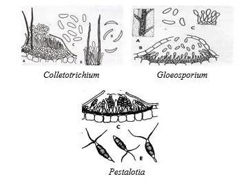 Form -Genus: Colletotrichium, Gloeosporium, and Pestalotia