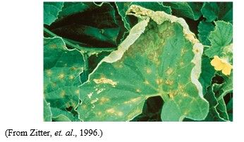 شكل رقم (1): أعراض تبقع الأوراق المتسببة عن الفطر الترناريا.