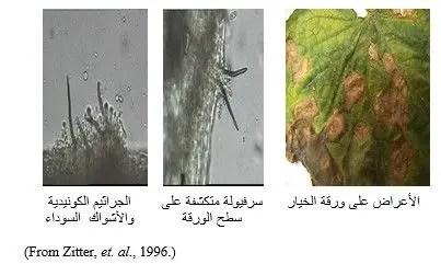 شكل رقم (1): الأعراض على ورقة الخيار وجراثيم الفطر Colletotrichum
