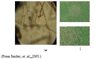شكل رقم (1) الأعراض على المسطح الأخضر وشكل الفطر تحت المجهر أ) الأعراض على المسطح الأخضر ب) شكل الفطر تحت المجهر