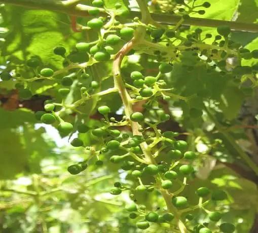 مراحل نمو ثمرة العنب من الإخصاب حتى النضج