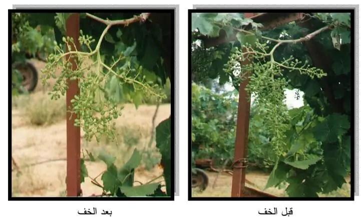 العمليات التي تجري لتحسين صفات حبات العنب البناتي