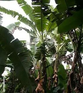 الموز السكري طویل الساق