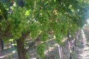 التقليم والتربية لكروم العنب
