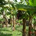 تجهیز وزراعة مشتل الموز