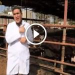 فيديو .. مشروع تسمين العجول المستوردة واهم المعاملات من استقبال الحيوان حتى مزارع التسمين