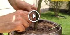 تطعيم شجرة الليمون