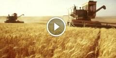 زراعة القمح علامات نضج ومعاملات جمع المحصول
