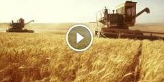 فيديو .. زراعة القمح علامات نضج ومعاملات جمع المحصول