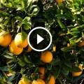 زراعة البرتقال التمسيد والمغذيات خلال النقطة او تكوين العقد داخل الثمرة ومكافحة دودة الانفاق