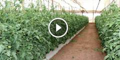 فيديو .. زراعة الطماطم فى الاراضى الصحراوية تنظيف شبكة الري والمقررات السمادية