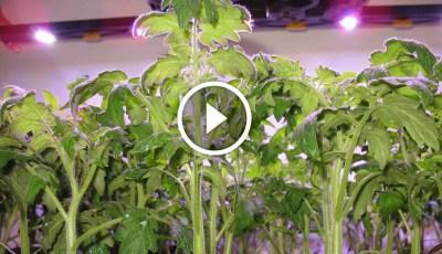 فيديو .. زراعة الطماطم فى الاراضى الصحراوية مكافحة النيماتودا واعفان الجذور وزيادة النمو الخضري