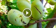 زراعة المانجو مكافحة الحشرة القشرية