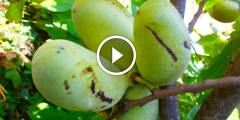 فيديو .. زراعة المانجو مكافحة الحشرة القشرية