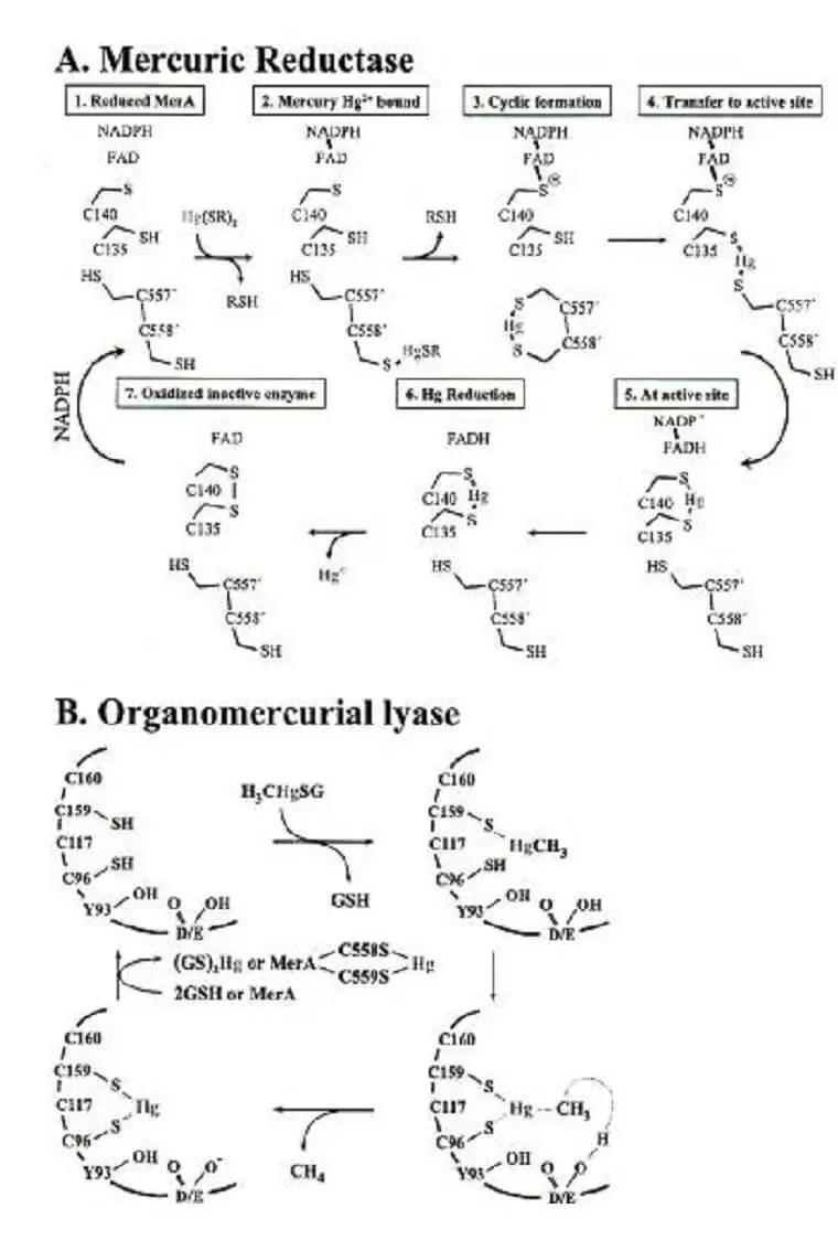 شكل 1خصائص أنزيمات مقاومة الزئبق( Silverو 2007، Hobman)